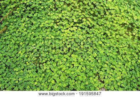 Green background of natural fresh wet wood sorrel
