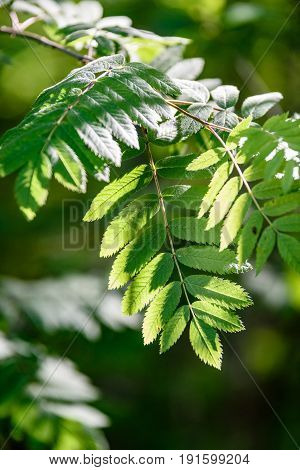 Rowan Tree Leaves In Harsh Sunlight