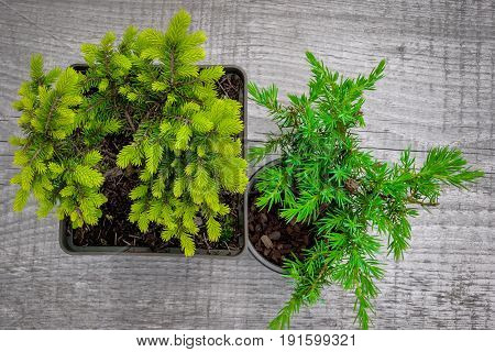 Young shoots of spruce and juniper in black pots stand on an old board