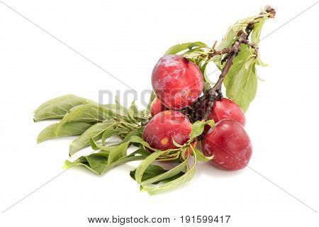 Juicy And Fleshy Plums On Branch Isolated On White Background Authentic Image With Real Leaves