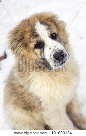 Portrait of three months puppy of Central Asian Shepherd (alabai)