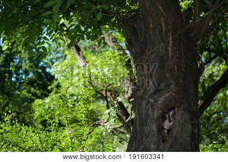 Gray owl with yellow eyes in the hollow of a large old tree in a green forest on a summer day against a backdrop of bushes