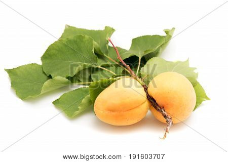 Juicy And Fleshy Apricots On Branch Isolated On White Background Authentic Image With Real Leaves