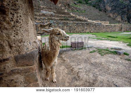 Alpaca at Inca ruins in Ollantaytambo Peru