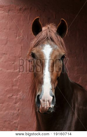 "Portrait of Peruvian horse ""Caballo de Paso"" on a vertical format poster"