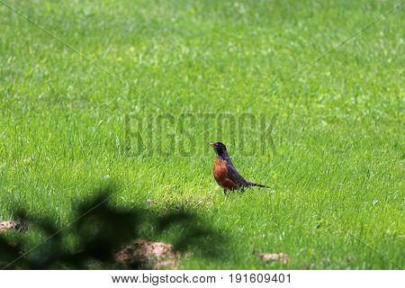 A proud Robin walking through the green grass.