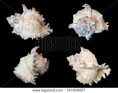 Sea Shells Isolated