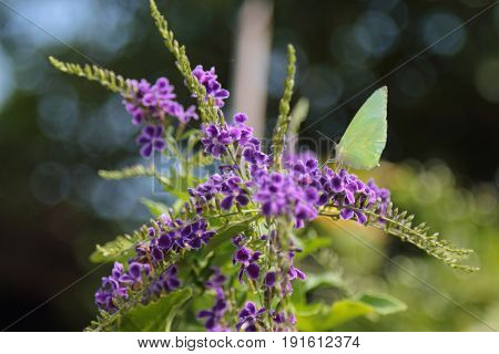 Yellow butterfly catch on purple flowers in thailand.