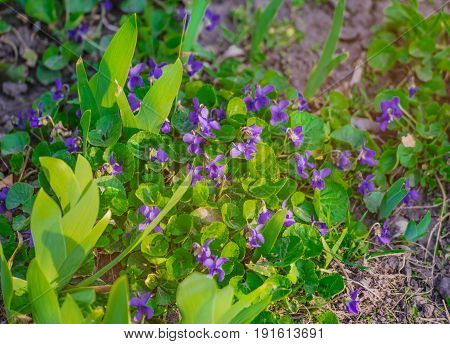 Viola odorata (Sweet Violet, English Violet, Common Violet, or Garden Violet) blooming in sunny day. Flowers violets. Wood violets flowers close up.