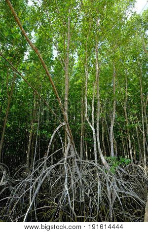 Mangrove tree, Mangrove forest in Borneo,Nature background