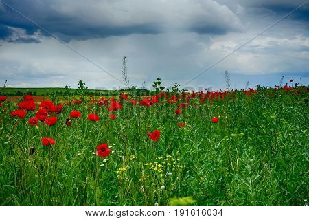 The picturesque landscape on the background of meadow with red poppies and dark storm clouds
