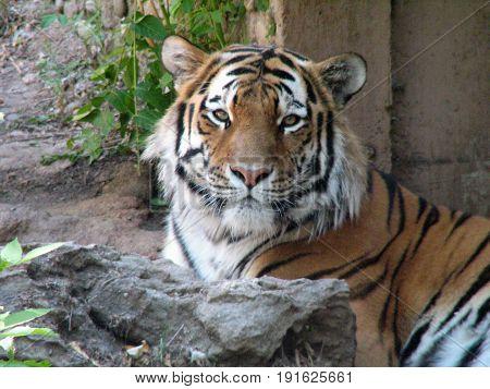 Deceptively sweet face of a Sumatran Tiger.