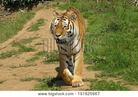 Bengal tiger on the prowl down a well worn pathway.