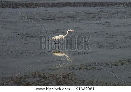 A White Heron searches for a meal in the Waters of the Bouge Sound in Salter PathNorth Carolina