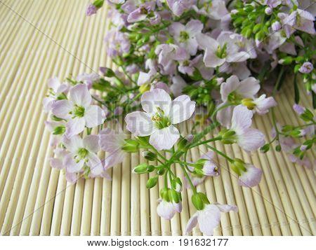 Frech bunch of cuckoo flower, cardamine pratensis