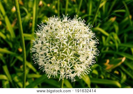 White-green Ball Of A Decorative Flower.