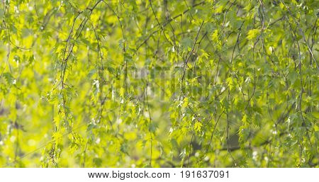 birch betula dalecarlica leaves sways in spring day, wide photo