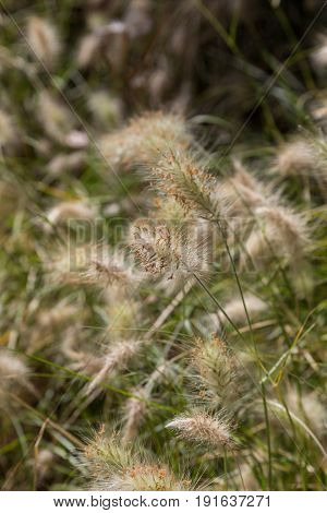 Field Of A Wild Plants With Fluffy Spike