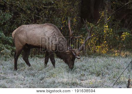 Bull Elk in Dewy Grass in Cataloochee valley