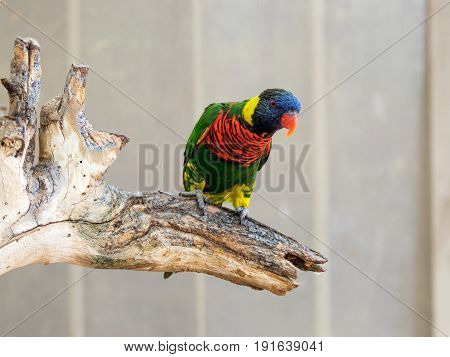 Parrot Lori - Loriinae - sits on a branch in an aviary for parrots at the Gan Guru Zoo in Kibbutz Nir David in Israel