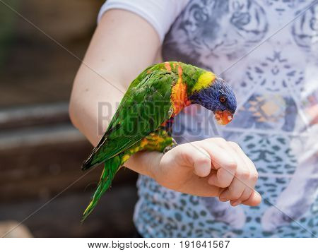 Parrot Lori - Loriinae - sits on the arm and eats an apple at the Gan Guru Zoo in Kibbutz Nir David in Israel