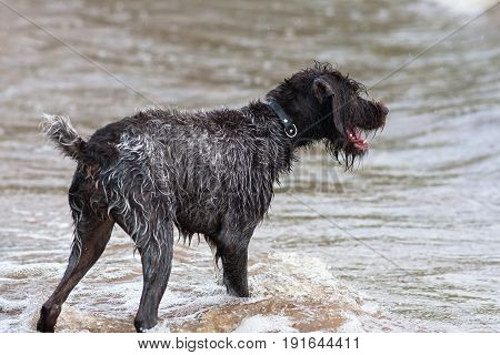 wet hunting dog german wirehaired pointer on the river