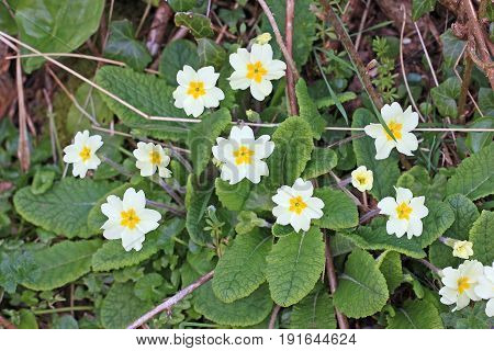 Wild primrose flowers on a bank in spring