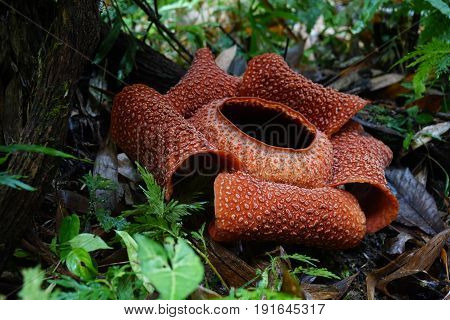 Rafflesia, the biggest flower in the world poster