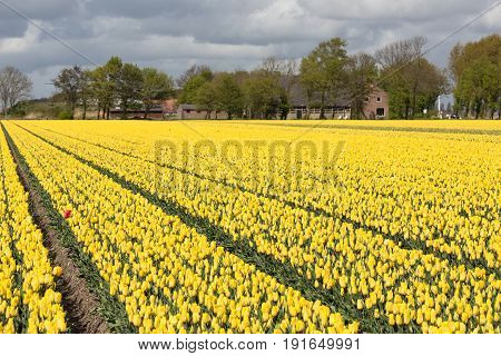 Dutch rural landscape with farmhouse and colorful yellow tulip field