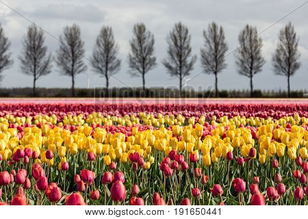 Dutch farmland with country road and colorful tulip fields photographed with selective focus