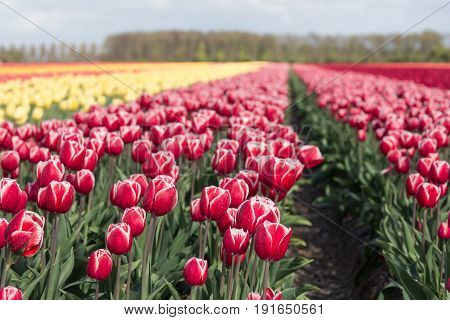 Beautiful dutch farmland with colorful tulip fields photographed with selective focus