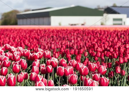 Dutch farmland with barn and colorful tulip fields photographed with selective focus