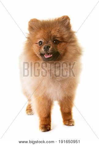 puppy pomeranian dog in front of white background