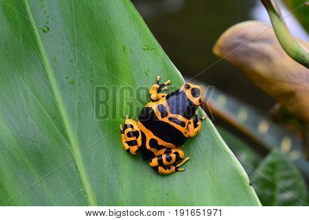 A gold and black poison dart frog sits on a plant leaf