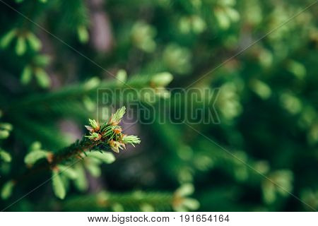 Young fir tree needles, horizontal close up fir tree branches with forest in the background. Copy space.
