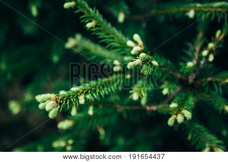 Young fir tree needles with water drops. Horizontal close up of morning dew on fir tree branches with forest in the background. Raindrops on green fir-tree branch.