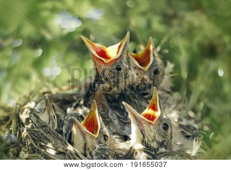 Baby of a bird thrush in a nest ask to eat