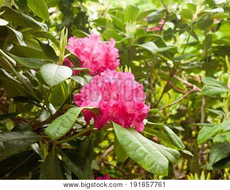A Gorgeous Pinky Bright Red Rhododendron Outside Close Up On A Tree In Detail In Sunlight On Spring