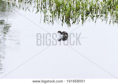 Pied-billed Grebe splashing around in shallow wetland