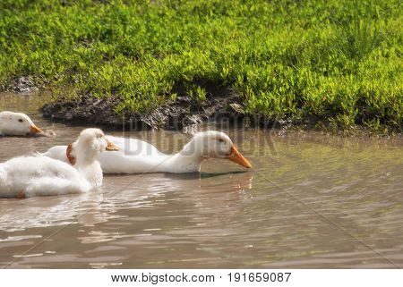 White Duckling In A Big Puddle In A Village Street