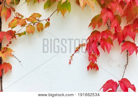 Colorful virginia creeper branches covering a white wall