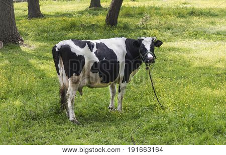 Cow grazing on a green meadow and looking throught camera