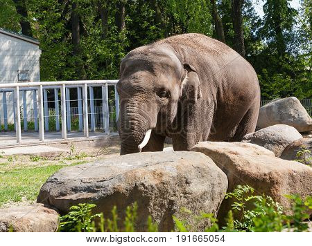 Zoo elephant in the aviary. Horizontal frame. In the foreground are stones