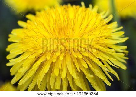 Yellow dandelion flowers on green grass background