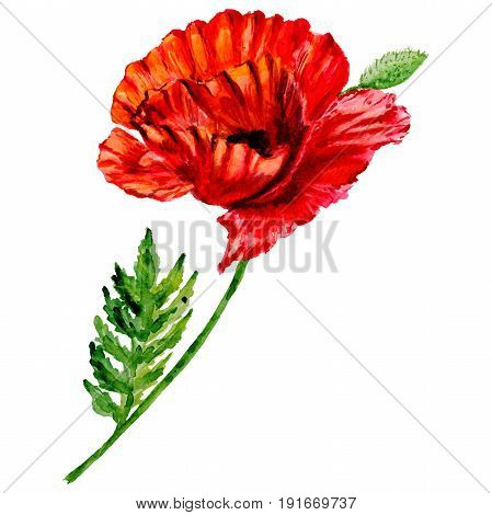 Wildflower poppy flower in a watercolor style isolated. Full name of the plant: poppy, papaver,  opium. Aquarelle wild flower for background, texture, wrapper pattern, frame or border.