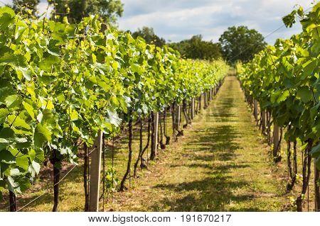 Summer morning on a vineyard in the Czech Republic. Vine growing