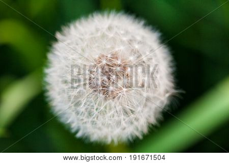 Dandelion with seeds close-up on the green grass background