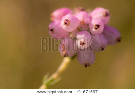 Cross-leaved heath (Erica tetralix) flowers. Pink flower cluster of a common heather plant of marshes heaths and moors