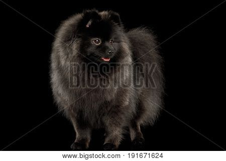Furry Pomeranian Spitz Dog Standing on Isolated Black Background, front view