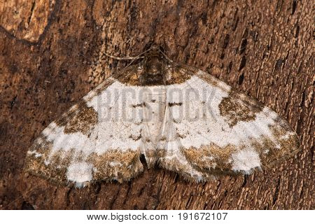 Pretty chalk carpet moth (Melanthia procellata) from above. British insect of calcareous soils in the family Geometridae the geometer moths